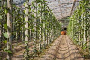 香草騎士香莢蘭園